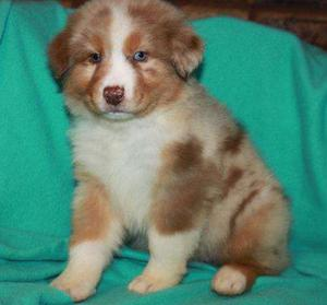 Australian Shepherd Puppies For Sale FOR SALE ADOPTION