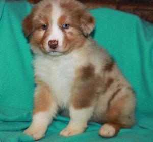 Australian Shepherd Puppies For Sale FOR SALE ADOPTION