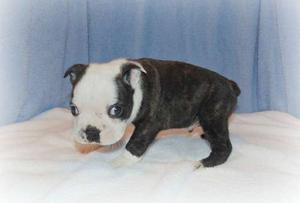 Boston Terrier Puppies For Sale FOR SALE ADOPTION