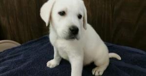 Labrador Retriever Puppies For Sale FOR SALE ADOPTION