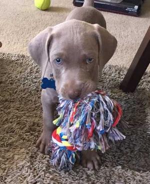 Weimaraner Puppies For Sale FOR SALE ADOPTION