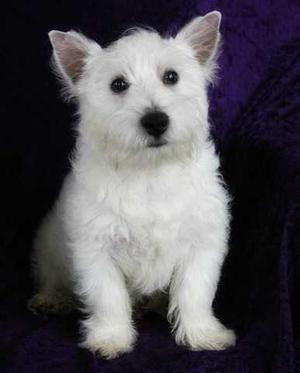 West Highland White Terrier Puppies For Sale FOR SALE ADOPTION