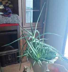 Giant Aloe Vera Plant