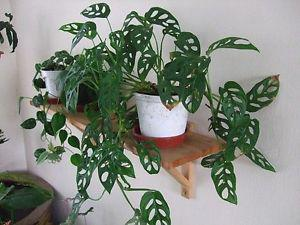 Wanted: ISO Swiss Cheese Vine Plant