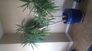 6 ft indoor Yucca plant