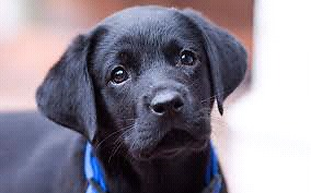 Looking for a black lab x