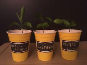 Meyer Lemon Plant Tree Seedling