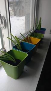 Aloe Vera plants!