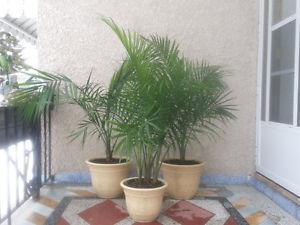 BEAUTIFUL HEALTHY HOUSE OR SUNROOM PLANTS 4 SALE