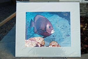 professional underwater grey Angel fish pictures