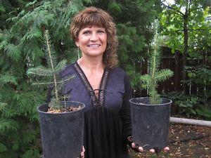 Trees for sale - potted spruce seedlings - $6.00 each
