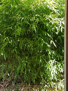 Bamboo tree  'high