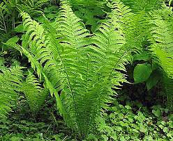 Wanted: Looking for ferns and shade perennials
