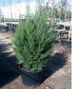 Wanted: ISO: Cedar trees