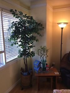 Fiscus tree for sale
