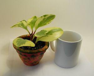 Pepper Face Plant