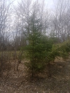 Spruce Trees 5-10ft tall 25 left. $50/each