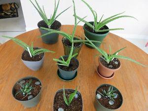 Aloe Vera & Hawarthia Cactus