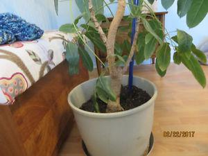 GORGEOUS LARGE HEALTHY PLANT ONY $50