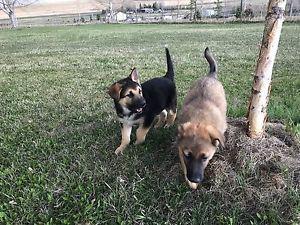 Male German Shepherd Puppies for Sale