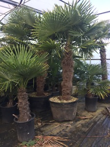 Sale: Palm Trees in Vancouver