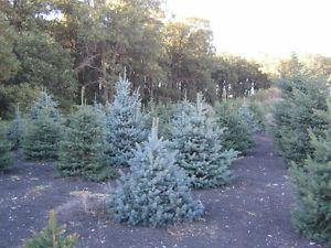 white spruce and other trees for sale