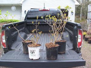 Lilacs in 2 Gallon Pots $15 EACH
