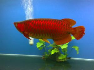 Elegant asian red and golden arowana fishes FOR SALE ADOPTION