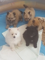 Quality Pomeranian Puppies for Sale FOR SALE ADOPTION