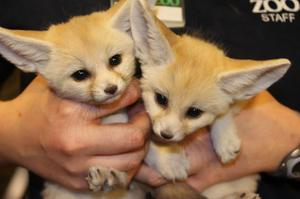 Affectionate Pure breed Fennec foxs for sale FOR SALE ADOPTION