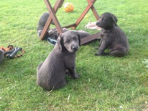 Blue Weimaraner puppies FOR SALE ADOPTION