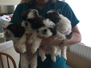Gorgeous shih Tzu puppies FOR SALE ADOPTION