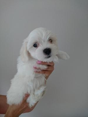 Maltese puppies available FOR SALE ADOPTION