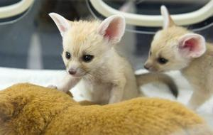 Stunning Pure breed Fennec foxs for sale FOR SALE ADOPTION
