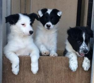 boarder collie pup FOR SALE ADOPTION