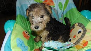 stunning lakeland terrier puppies FOR SALE ADOPTION