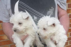 west highland white terrier puppies FOR SALE ADOPTION