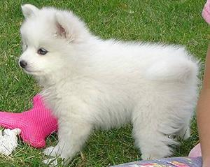 Cute Pomeranian Puppies for adoption FOR SALE ADOPTION