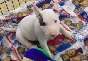 Available Now only Two Left English Bull Terrier Puppies FOR SALE ADOPTION