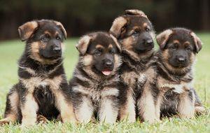 Beautiful German Shepherd Puppies FOR SALE ADOPTION