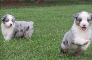 Gorgeous Australian Shepherd puppies available now FOR SALE ADOPTION