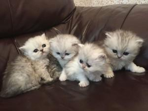 Male and female Persian kittens available now FOR SALE ADOPTION