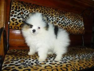 Parti Black And White Pomeranian Puppies FOR SALE ADOPTION