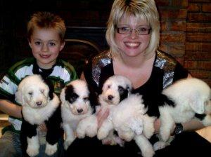 Perfect Old English Sheepdog Puppies available now FOR SALE ADOPTION