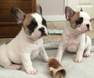 male and female frenchie babies for cuties and loving homes FOR SALE ADOPTION