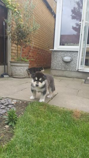 Adorable Alaskan Malamute Puppies FOR SALE ADOPTION