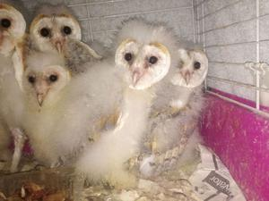 Baby Barn Owls For Sale All Have A10 Certificate FOR SALE ADOPTION