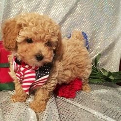 Beautiful Kc Registered Toy Poodle Puppies 2 boys and 3 girls FOR SALE ADOPTION