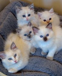 Beautiful Ragdoll Kittens for any pet lover FOR SALE ADOPTION