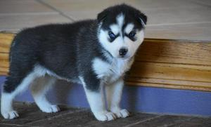 Cute and Adorable siberian husky Puppies FOR SALE ADOPTION